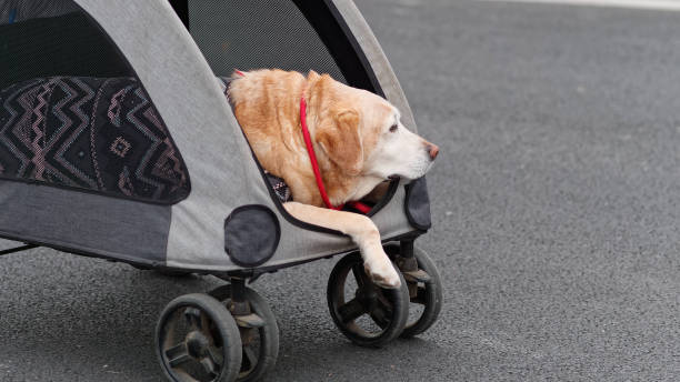 Aged Labrador Retriever travel in pet cart, old dog in clothes. stock photo