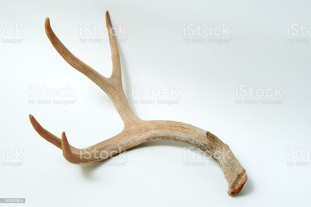 Aged Mule Deer Antler on White Background stock photo