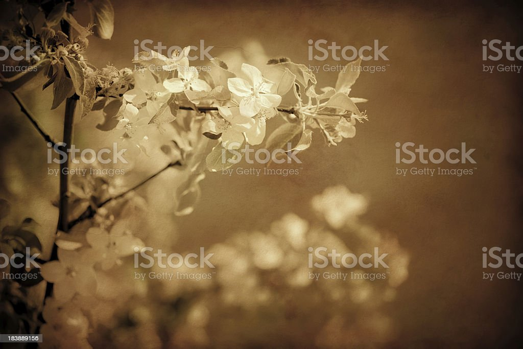 Aged photo of cherry blossom royalty-free stock photo