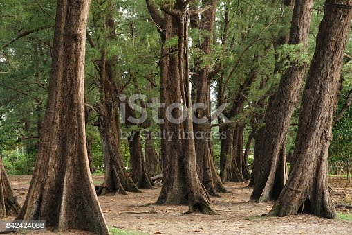 istock Aged Pine Wood Forest against Wind from Ocean beach, abstract look bark, brach and tree bod 842424088