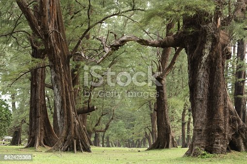 istock Aged Pine Wood Forest against Wind from Ocean beach, abstract look bark, brach and tree bod 842425368