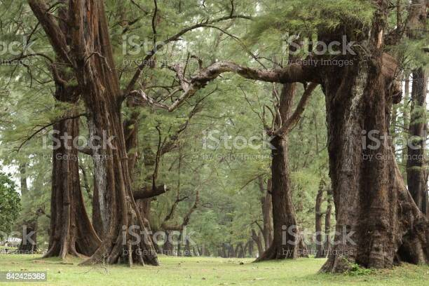 Photo of Aged Pine Wood Forest against Wind from Ocean beach, abstract look bark, brach and tree bod