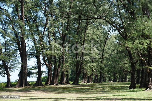 istock Aged Pine Wood Forest against Wind from Ocean beach, abstract look bark, brach and tree bod 852415386