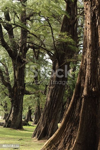 istock Aged Pine Wood Forest against Wind from Ocean beach, abstract look bark, brach and tree bod 852418150