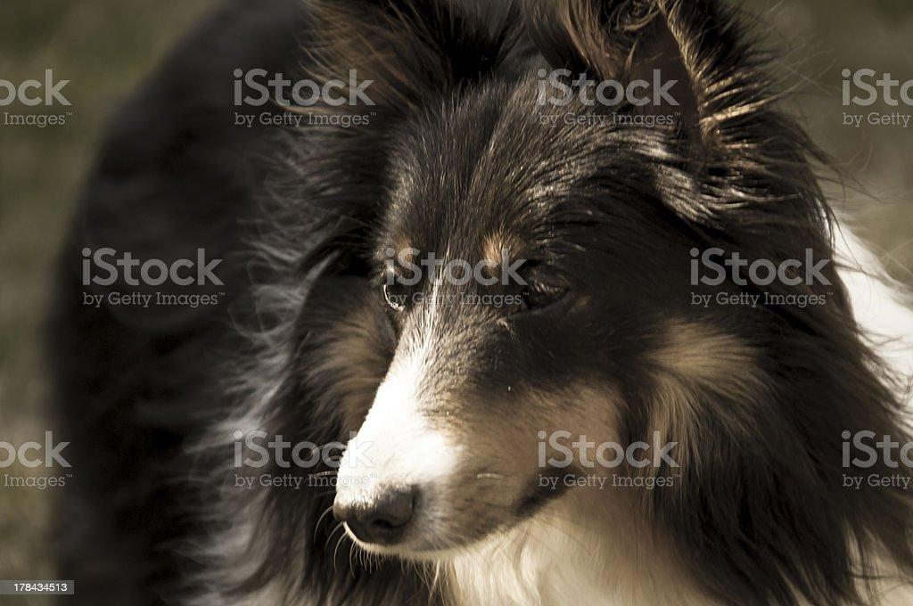 aged portrait of tri-color shetland sheepdog royalty-free stock photo