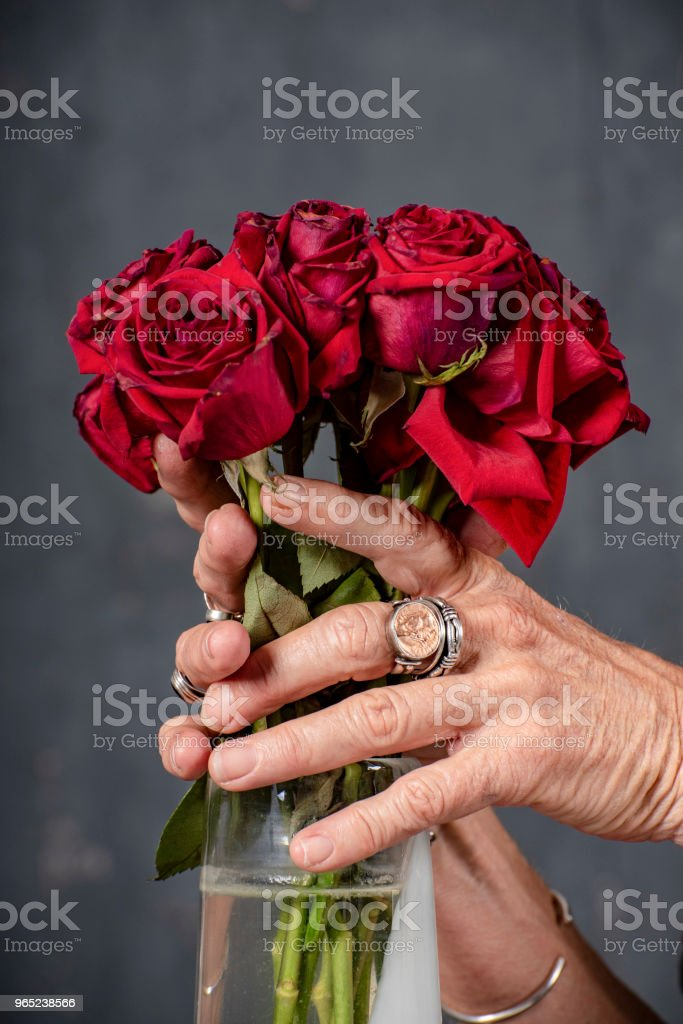 Aged woman's hands hold bunch of dying red roses in vase. zbiór zdjęć royalty-free