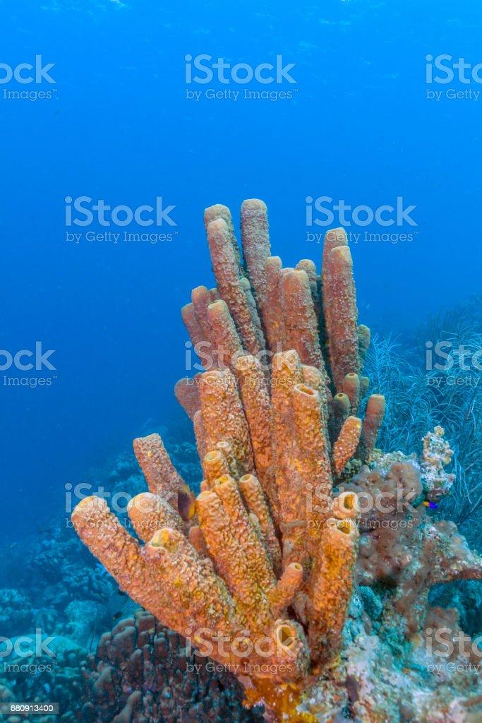Agelas conifera, brown tube sponge royalty-free stock photo