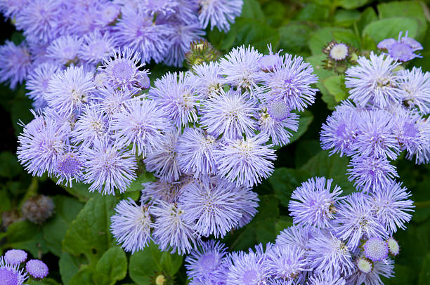 Ageratum flores azul - foto de stock