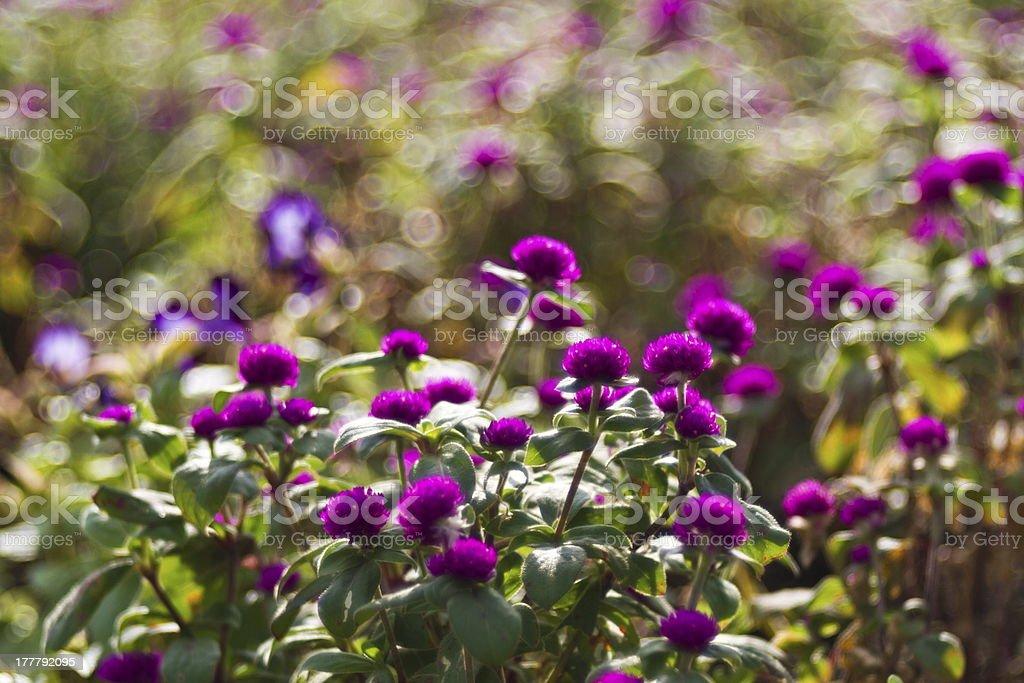 Ageratum houstonianum royalty-free stock photo