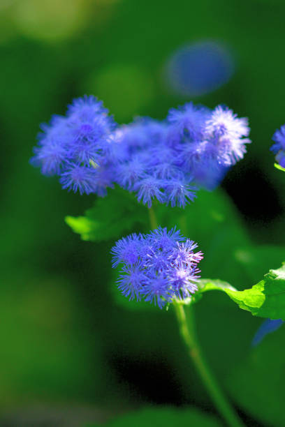 Ageratum / Weißkraut / Floss Blume – Foto
