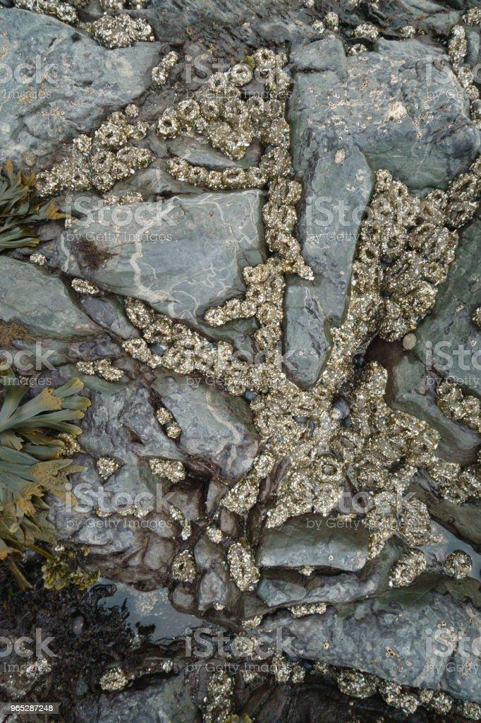 Aggregating Anemone colony at low tide zbiór zdjęć royalty-free