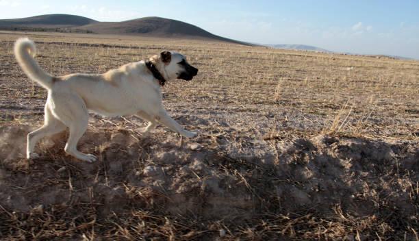 Aggressive Anatolian Shepherd Dog - Sivas Kangal. Aggressive Anatolian Shepherd Dog - Sivas Kangal. sheepdog stock pictures, royalty-free photos & images