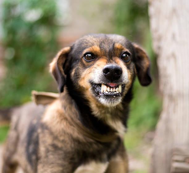 aggressive, angry dog - knurren stock-fotos und bilder
