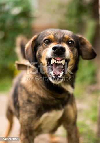 istock Aggressive, angry dog 542218056