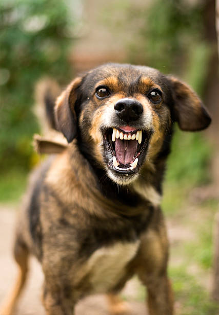 aggressive, angry dog - attaquant photos et images de collection