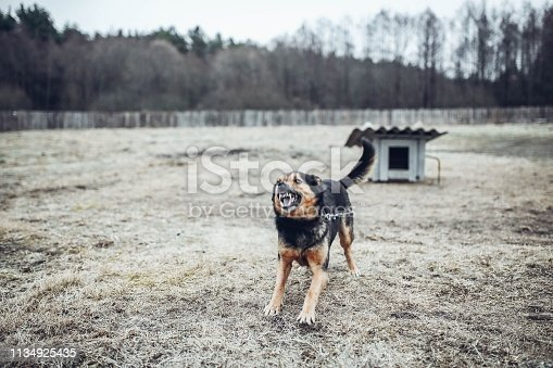 aggressive angry guard dog barks and growls.