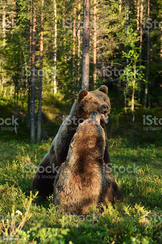 Aggressive bear. Angry bear. Bear fight. Bear aggression. Animal fight. stock photo