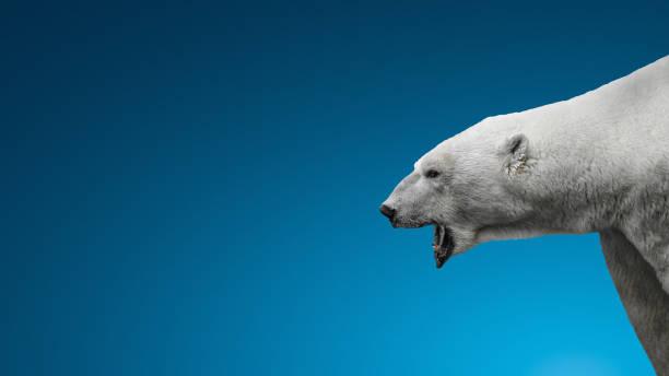Aggressiver großer Eisbär auf weißem Hintergrund – Foto