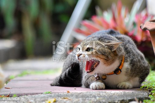 Shot of aggressive cat roaring to other cat before attacking