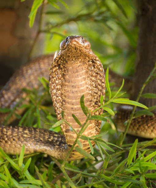 Aggressive Cobra – Foto