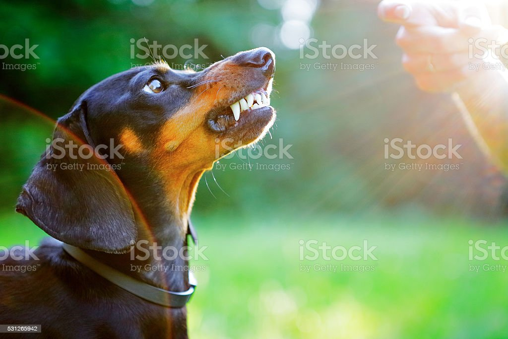 Aggressive dachshund bared its teeth in front of woman hand stock photo