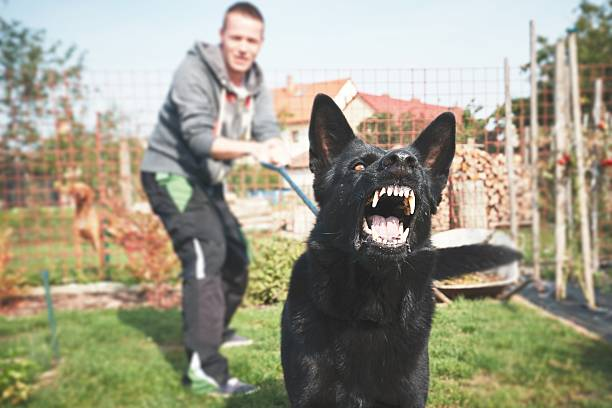 Aggressive dog Aggressive dog is barking. Young man with angry black dog on the leash. animal mouth stock pictures, royalty-free photos & images