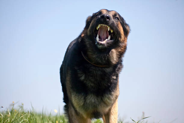 aggressiver hund rennt frontale elle, hund greift un - attaquant photos et images de collection