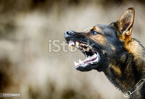 Aggressive dog shows dangerous teeth. German sheperd attack head detail.