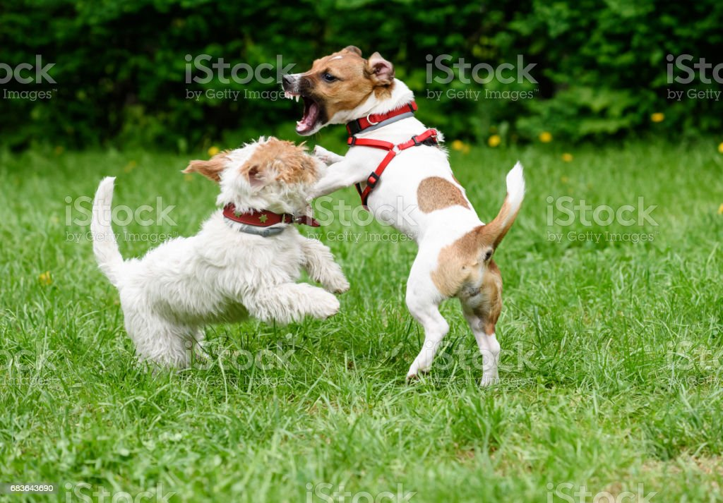Aggressive dog threatens another dog with frightful fangs stock photo