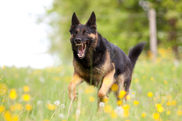 Aggressive german shepard dor run close with opened mouth and show teeth frontal stock photo