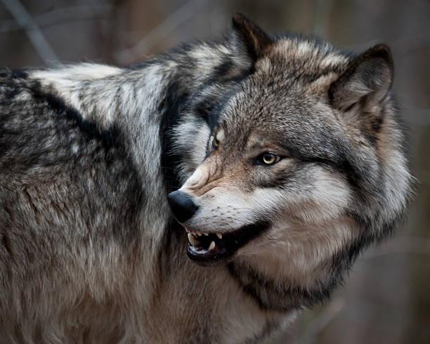 aggressive grau wolf - knurren stock-fotos und bilder