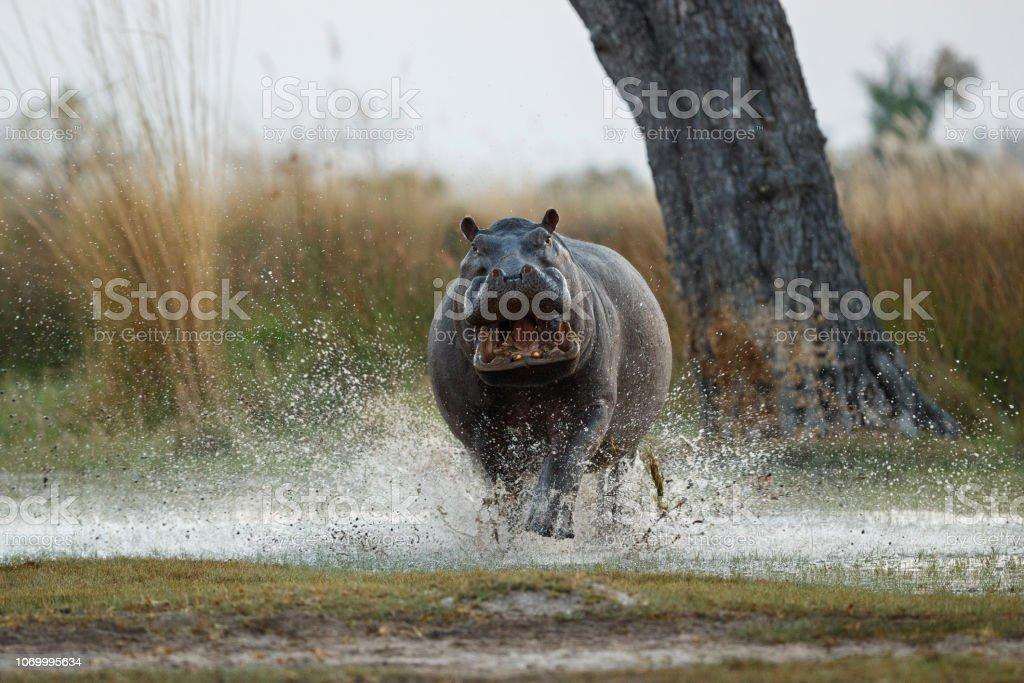 Aggressive hippo male attacking the car. stock photo