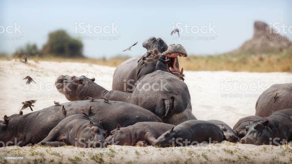 Aggressive hippo males on the beach. stock photo