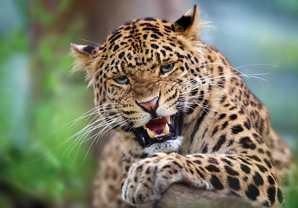 aggressive leopard stock photo