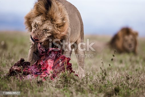 Male lion eating dead animal in nature.