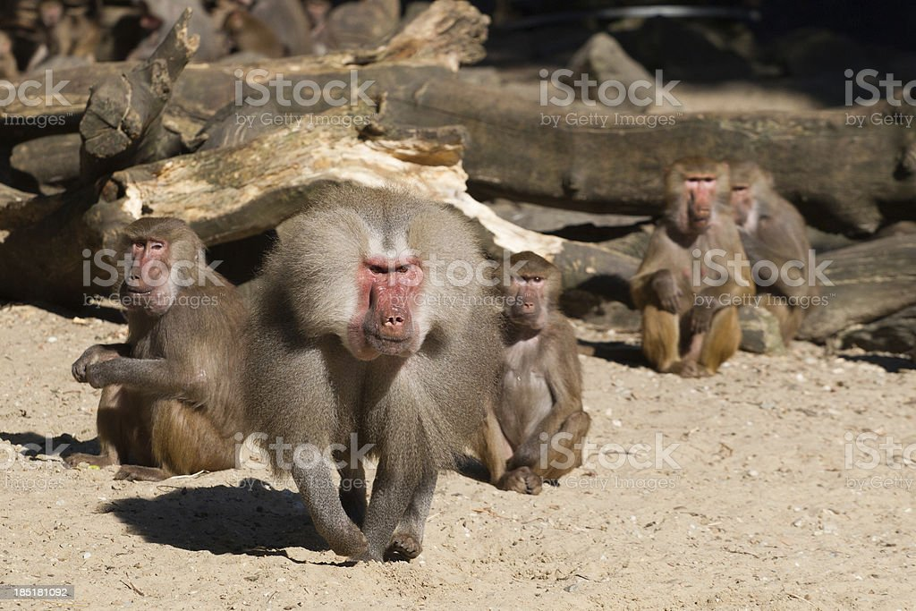 Aggressive male baboon defending group stock photo