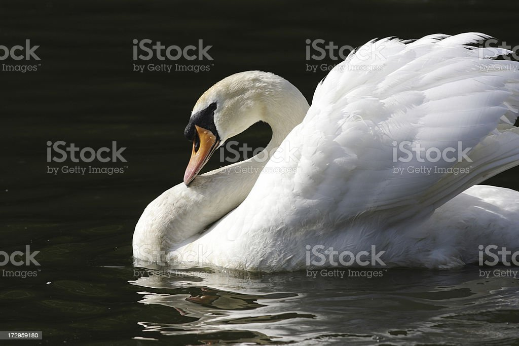 Aggressive mute swan Cygnus olor cruising at full sail royalty-free stock photo