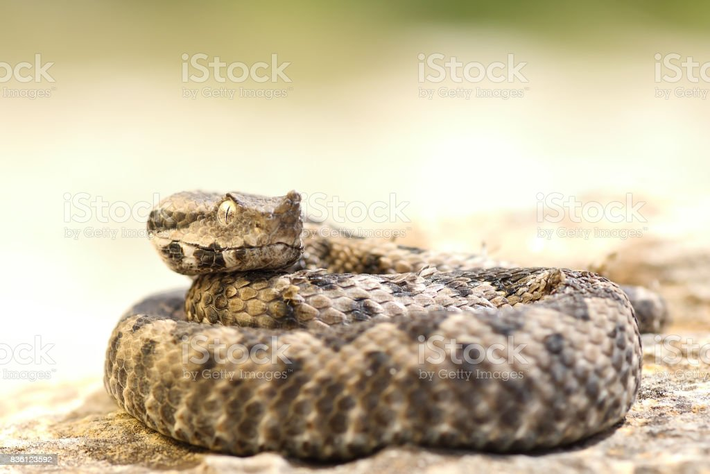 aggressive nose horned viper ready to strike stock photo