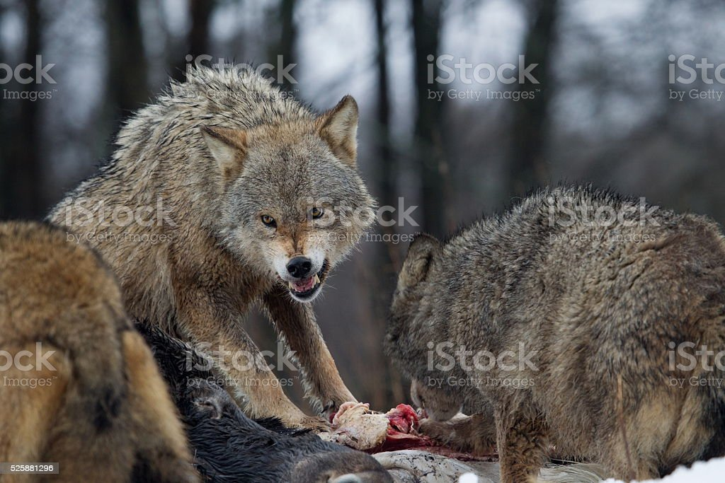 Aggressive wolves to prey stock photo