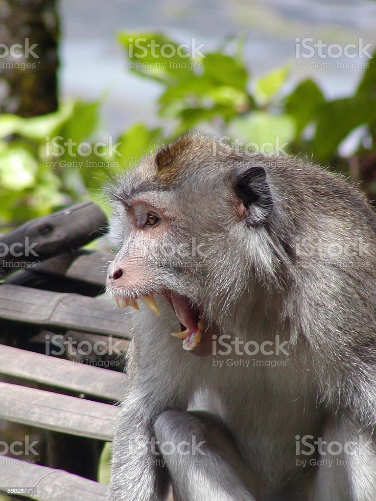 Aggrevated monkey royalty-free stock photo