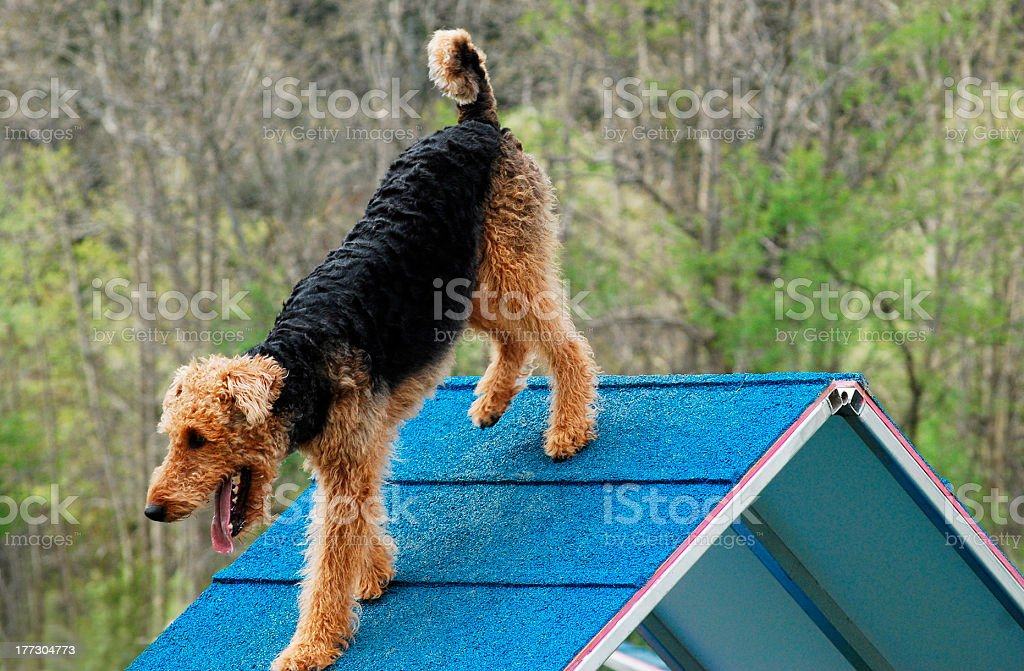 Agile Airedale stock photo