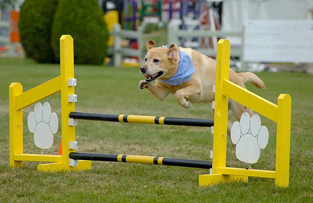Agile Hund Labrador – Foto