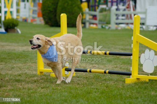 Agile dogs competition
