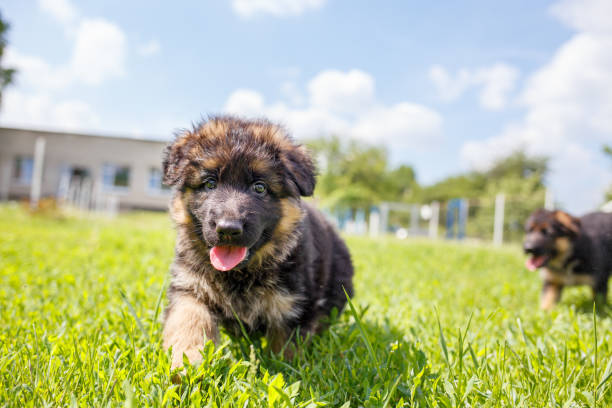 Agile puppy of german shepherd playing on the lawn Agile puppy of german shepherd playing on green lawn. sergionicr stock pictures, royalty-free photos & images