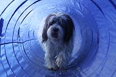 pon dog is running in the agility tunnel