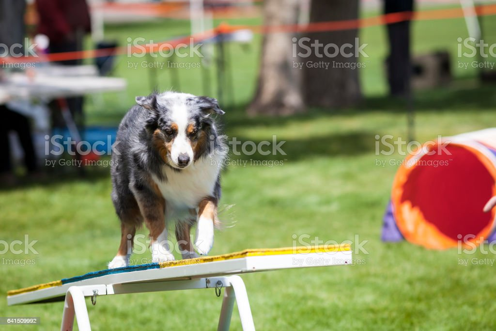 Agility Dog crossing Teeter Totter See Saw stock photo