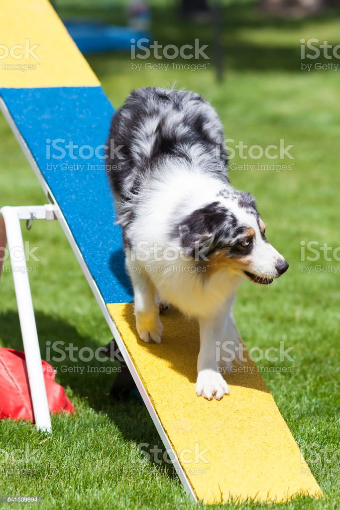 Agility Dog on See-Saw or Teeter Totter stock photo