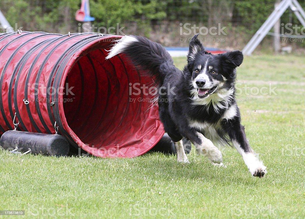 Agilidad de perro - foto de stock