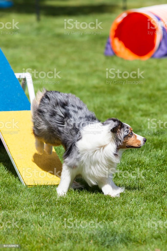 Agility Dog running off of see saw teeter totter stock photo