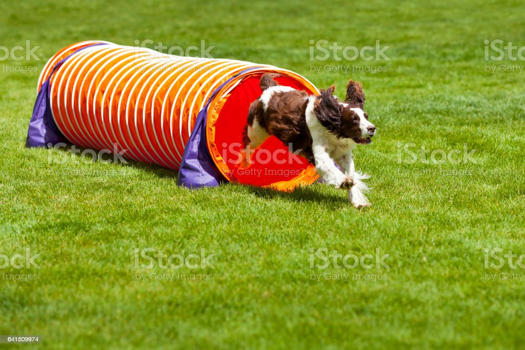 Agility Dog running out of tube. – Foto